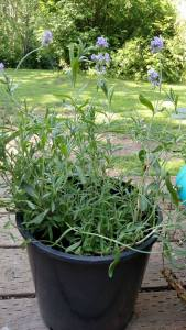 A lavender plant in a pot
